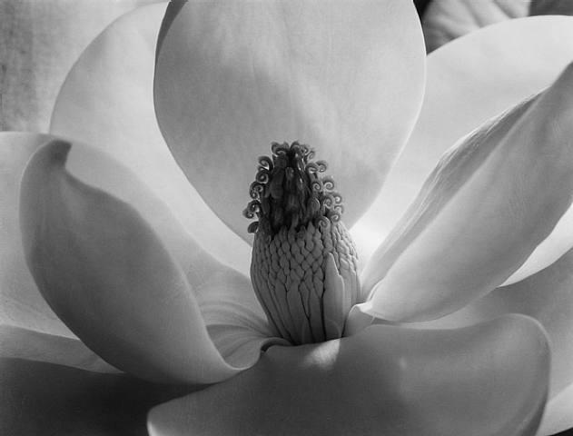 Flower by Imogen Cunningham
